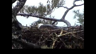NextEra Maine Eaglcam: May 1, 2012_1236