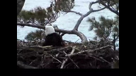 NextEra Maine Eaglcam: May 8, 2012_0942