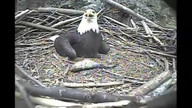 Independence & Franklin, CAM 2. Feeding 3 Eaglets, 6:40 pm EST, 5-9-12