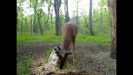 Bucks getting velvet antlers