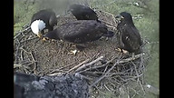 Two eaglets fight after one jumps on the other while wingercising