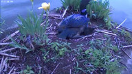 2012  First Loon Chick!  Morning of June 3, 2012