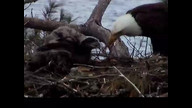 NextEra Maine Eaglecam: June 6, 2012_1430