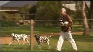 Orphaned lamb adopted by Dalmation dog