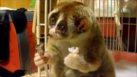 Slow loris eats rice ball . . .