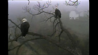 The Decorah Eagle Couple in the morning mist 10.20.