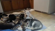 German Shepherd Rescue - PUPPIES!