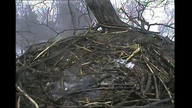 2 eagles in nest
