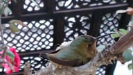 First Feeding of Baby Hummingbird On Hatch Day
