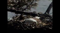 NextEar Maine Eaglecam 1: March 15, 2013