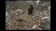 Two Harbors Bald Eagle Nest Cam