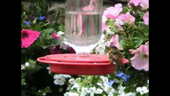 Weird Humming bird Behavior