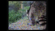 raccoon stops for dinner   (Doc)