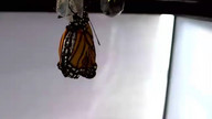 Monarch Butterfly emerging 12-1-2015 9:28am