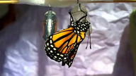 Monarch emerged 12:20pm 12-26-2015