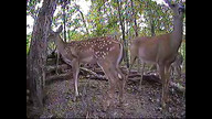 Mom with 2 fawns