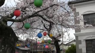 犬山羽黒桜だより2:小弓の庄サクラ四種