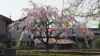 犬山羽黒桜だより5・小弓の庄・枝垂れサクラ満開